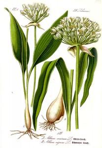 413px-Illustration_Allium_ursinum1